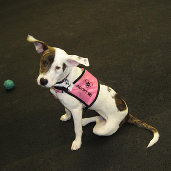 Adopt Me Dog vest